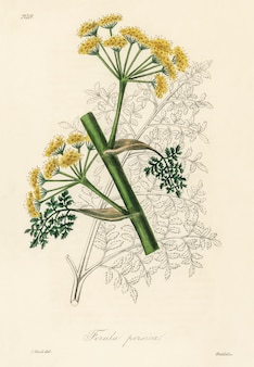 Ferula persica illustratie van medical botany (1836)