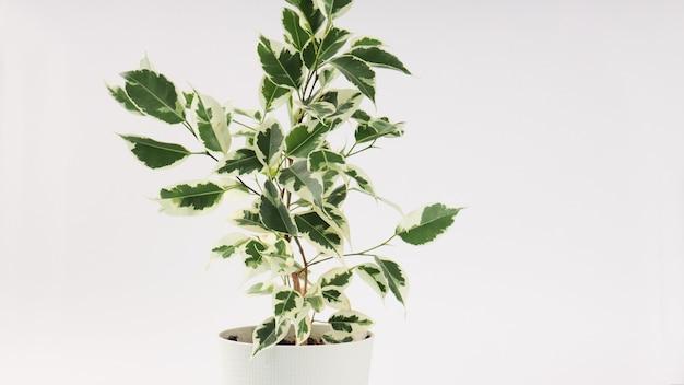 Ficus benjamin banner op een lichte achtergrond, kopieer ruimte voor tekst.