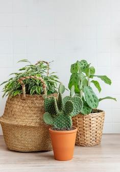 Ficus benjamin in een rieten mand, cactus, kamerplanten op tafel