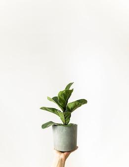 Ficus huisplant met groene bladeren in grijze pot in de hand op witte achtergrond