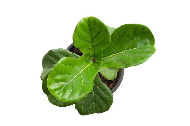 Ficus lyrate boom in pot