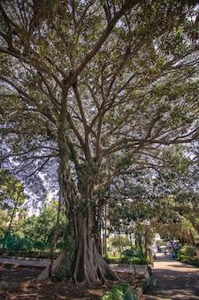 Ficus macrophylla een plant die veel voorkomt in gebieden in het noorden van sicilië