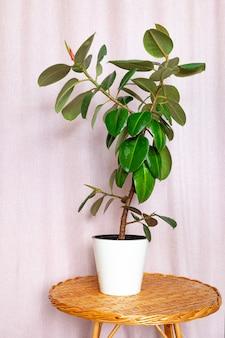 Ficusbloem in een witte pot op een rieten ronde tafel.