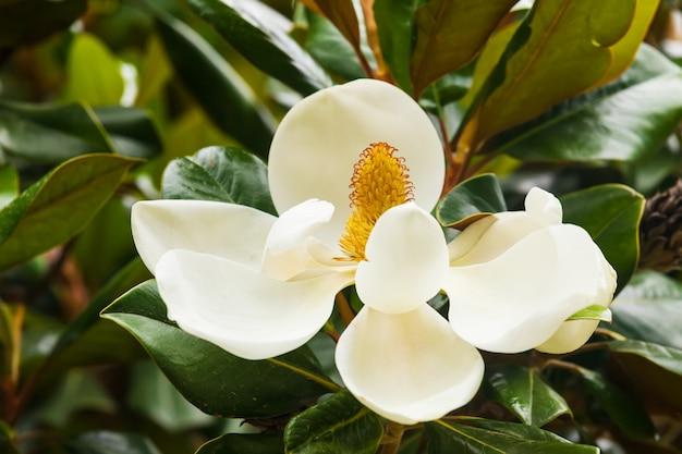 Ficusplant