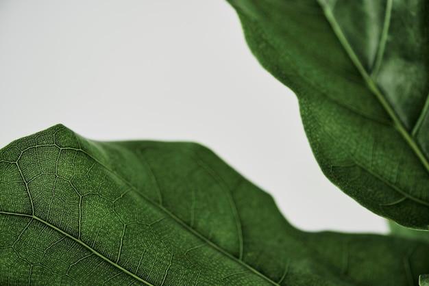 Fiddle leaf vijgen plant achtergrond