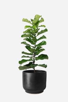 Fiddle leaf vijgenplant in een pot