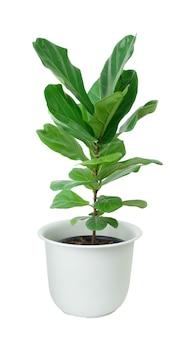 Fiddle vijgenboom met mooi groot groen blad voor decoratie in witte pot geïsoleerd op wit inclusief uitknippad