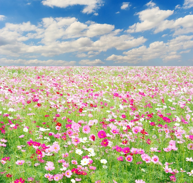 Field of cosmos flowers and sky