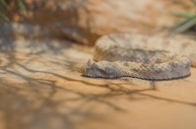 Field's horned viper, pseudocerastes fieldi.