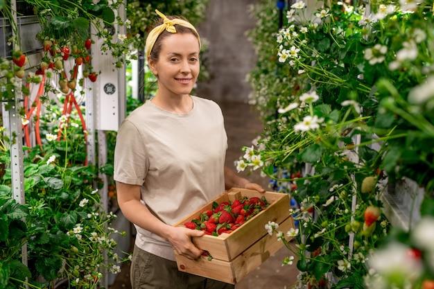 Fijne jonge vrouwelijke werknemer van een verticale boerderij die een houten kist met een hoop rijpe aardbeien vasthoudt terwijl ze tussen de planken staat