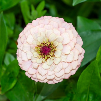Fijne roze enkele zinnia-bloem