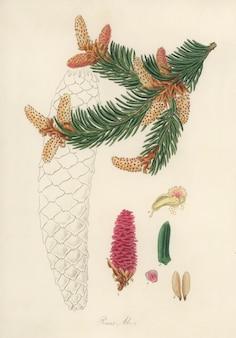 Fijnspar (pinus abies) illustratie van medical botany (1836)