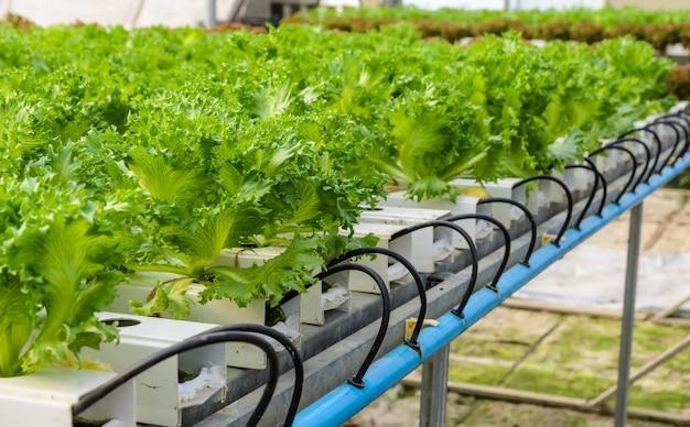 Filey iceberg-sla hydroponic-groentenplantage