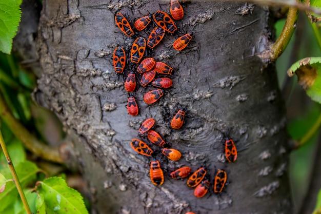 Firebugs op een boomschors