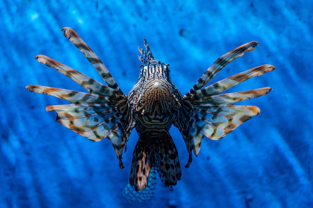 Fish lion, lionfish warrior, fish zebra.