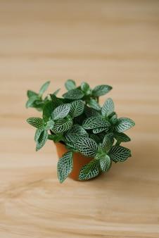 Fittonia donkergroen met witte strepen in een bruine pot op een beige achtergrond met planken.