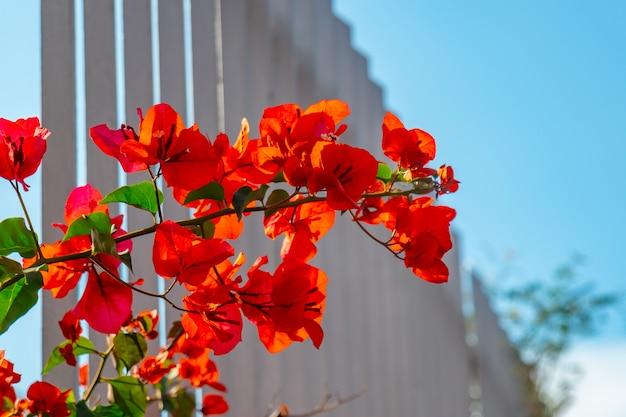 Flam boyant rode bloemen in het park, mooie rode bloemen