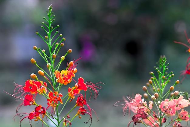 Flamboyant en the flame tree royal poinciana met feloranje bloemen in het park