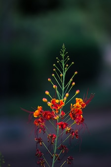 Flamboyant en the flame tree, royal poinciana met feloranje bloemen in het park