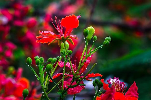 Flamboyant en the flame tree royal poinciana met feloranje bloemen nat tijdens de moesson
