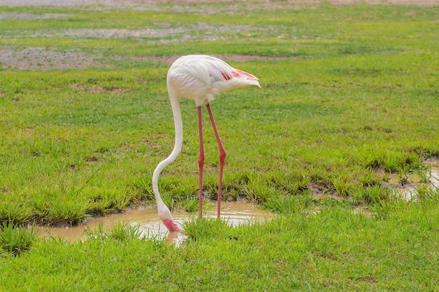 Flamingo eet voedsel in de wei