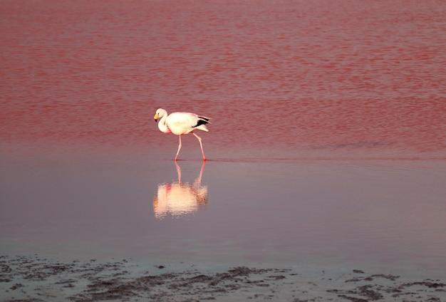 Flamingo flamboyance bij laguna colorada, een geweldig rood zoutmeer in de boliviaanse altiplano bolivia