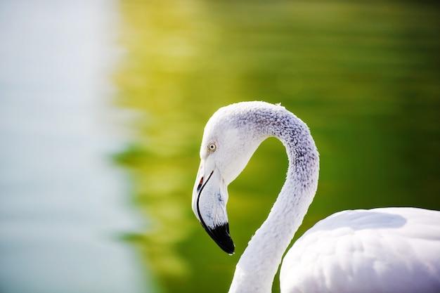 Flamingo in het meer