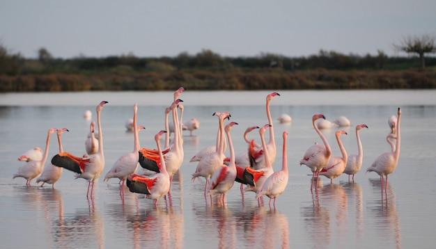 Flamingo's die in het water lopen, witte flamingo's die in het water staan
