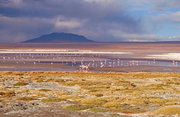 Flamingo's flamboyance grazen in laguna colorada of the red lagoon in boliviaanse altiplano bolivia
