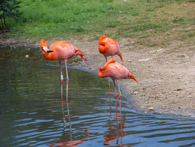 Flamingo's in een meer