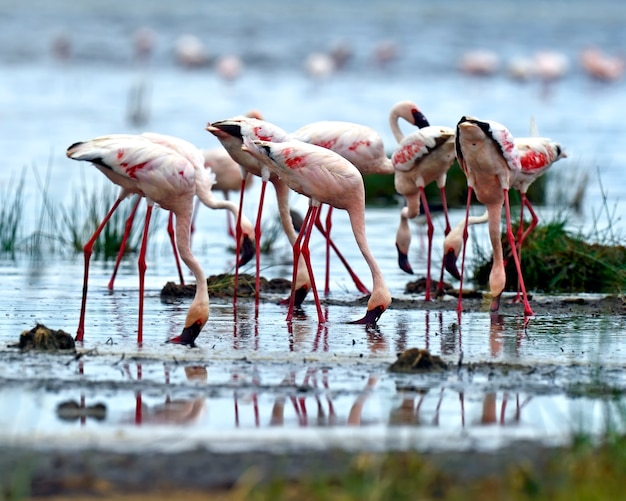 Flamingo's in het nationaal park lake nakuru afrika