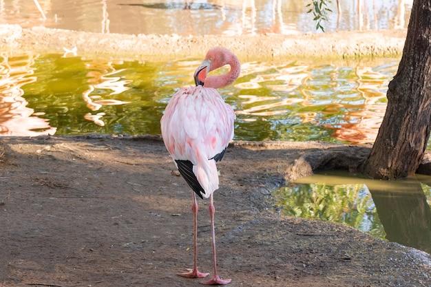 Flamingo's in water