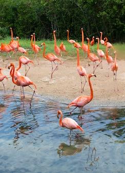 Flamingo's tegen groen