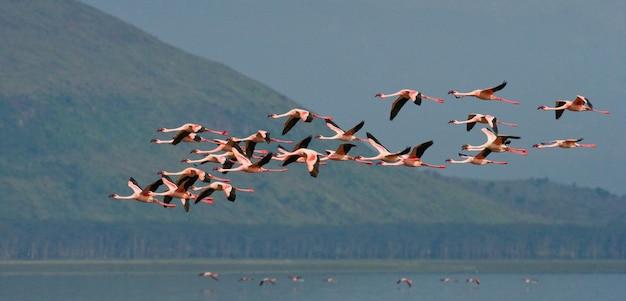 Flamingo's tijdens de vlucht