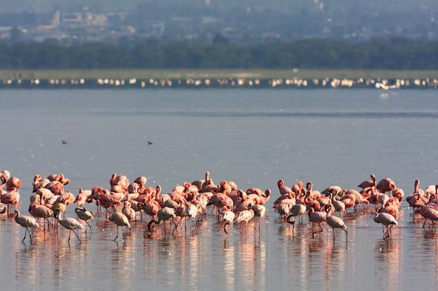 Flamingo's uit het nakuru-meer. kenia, afrika