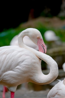 Flamingo vogel