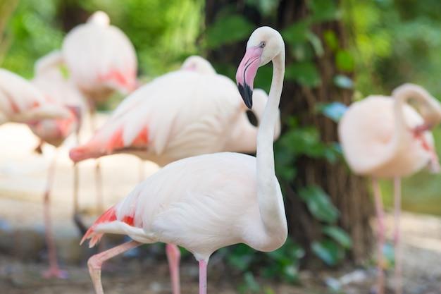 Flamingo wandelen en kijken naar de camera natuurlijke achtergronden