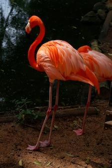Flamingoclose-up over dark