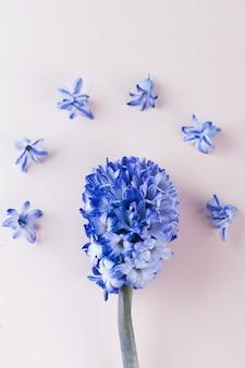 Flatlay is bloemig. paarse hyacint op een roze achtergrond. kopieer ruimte.