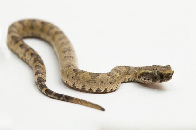 Flatnosed pitviper slang trimeresurus puniceus geïsoleerd op witte achtergrond