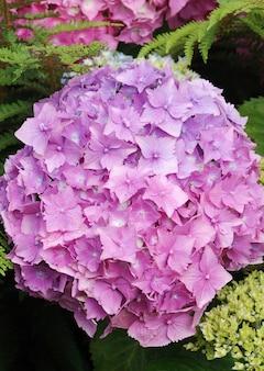 Fleur d'hortensia roos