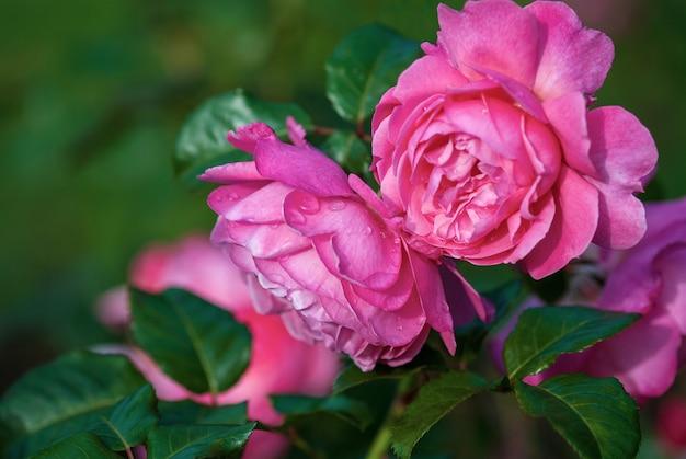 Flora colonia roos (kolner flora) roze struikroos bloeien in de tuin, close-up