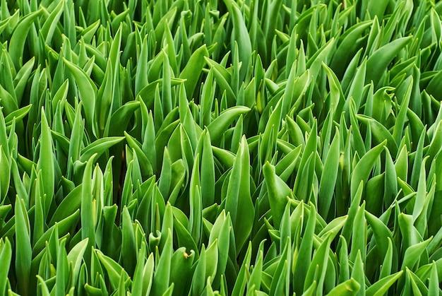 Florale achtergrond - brede groene bladeren van gras (tulpen zonder bloemen)