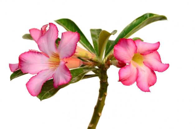 Florale achtergrond. sluit omhoog van tropische bloem roze adenium. de woestijn nam op witte achtergrond toe.
