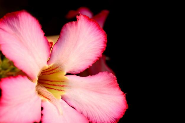 Florale achtergrond. sluit omhoog van tropische bloem roze adenium. desert rose op groene achtergrond.
