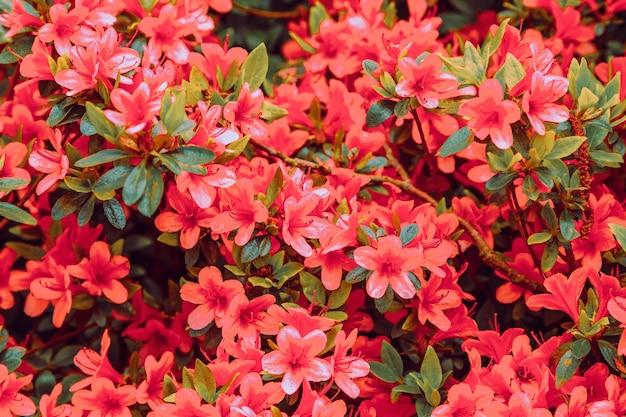 Florale achtergrond van azalea, selectieve aandacht.