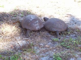 Florida bedreigde gopher tortoise
