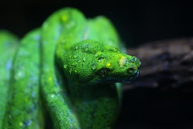 Focus dauw op groene slang hoofd