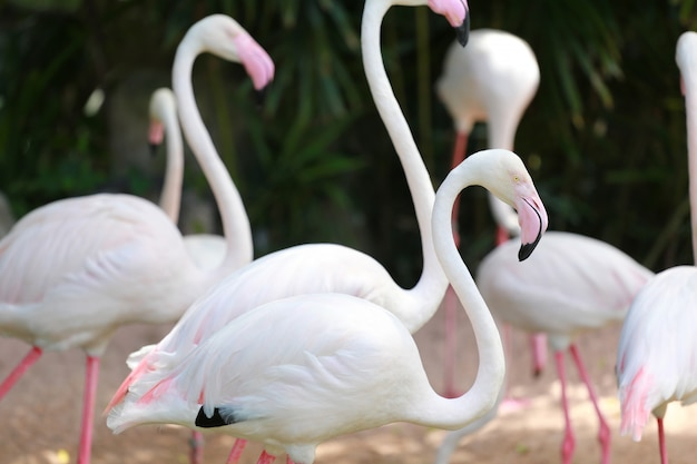 Focus in hoofd van flamingo vogels.