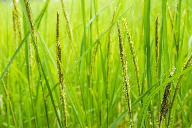 Focus op het rijpen van rijststengels